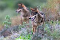 Resultado de imagen de lobo en la naturaleza