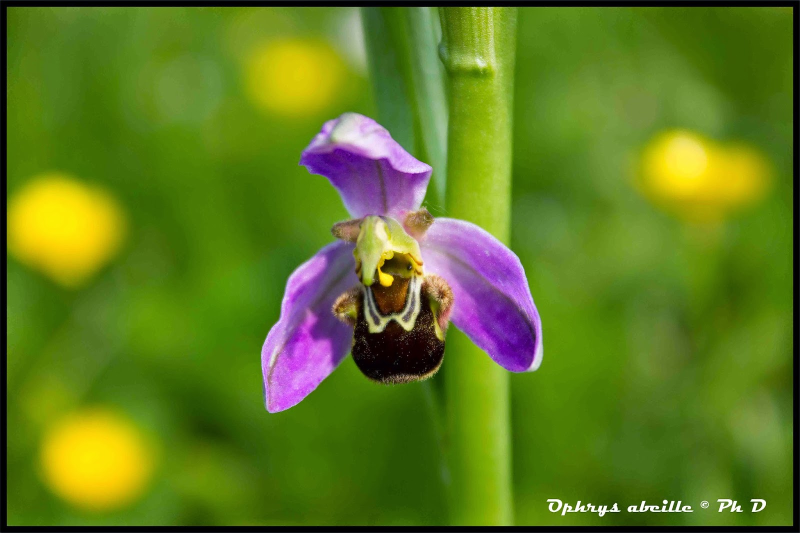 orchidee sauvage espece protegee