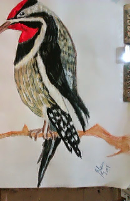 Yellow -bellied sapsucker sketch by Gloria Poole of Missouri; yr 2013