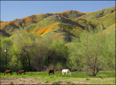 California, wildflowers, superbloom, super bloom, poppies, horse, horses, Lake Elsinore, Walker Canyon
