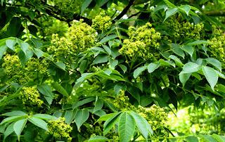Cây hoàng bá là cây gì? có tác dụng gì? sống mọc ở đâu?