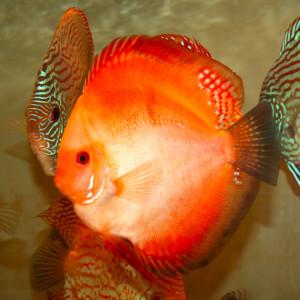 Jenis dan Harga Ikan Discus Red Marlboro