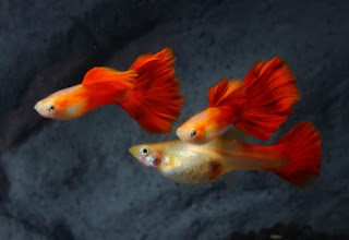 18 types of guppy fish fish wikipedia for Types of red fish