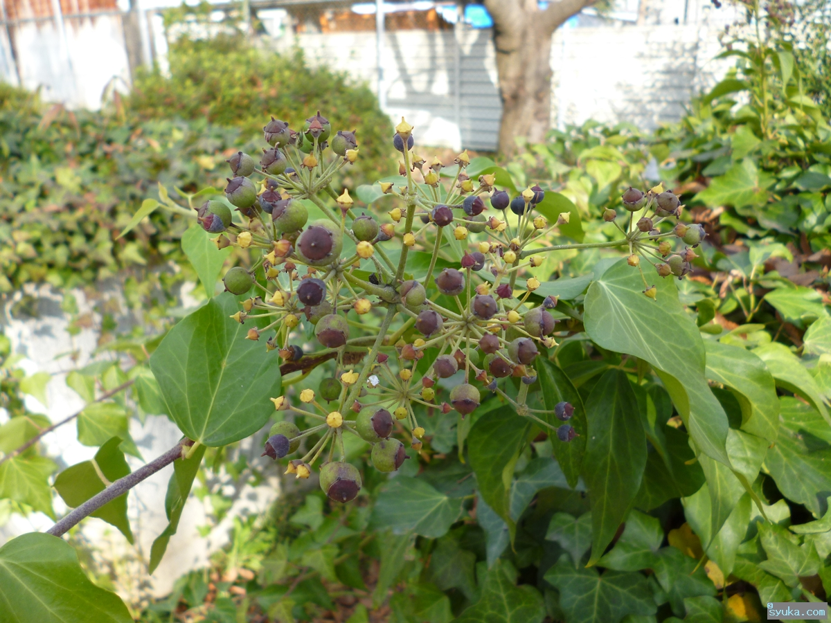 ヘデラ・へリックス・ピッツバーグの花と実