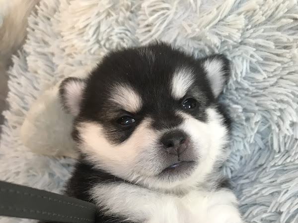 Be Sure to Check Our Available Miniature Siberian Husky Puppy Page!
