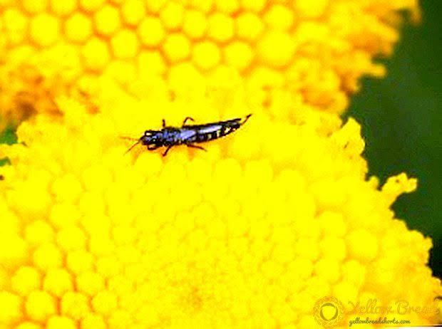 ما هي حشرة التربس