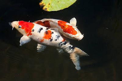 Nama Latin Ikan Koi Adalah