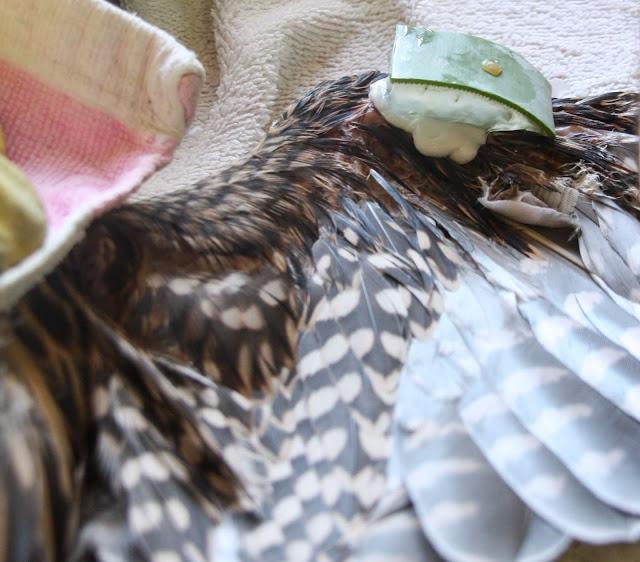 Falcão-peregrino eletrocutado está a recuperar no RIAS