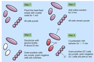 https://www.easybiologyworld.com/2019/12/gram-staining.html