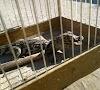 Filhote de jacaré é encontrado no quintal de uma casa em Cruz das Almas