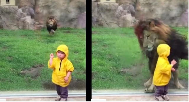 Lion POUNCES at little Boy in Zoo Two year old boy faces with lion