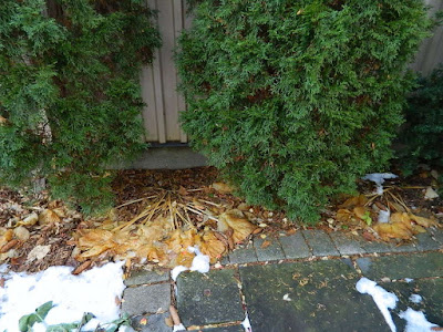 St. Clair West Village Toronto Fall Cleanup Before by Paul Jung Gardening Services--a Toronto Gardening Services Company