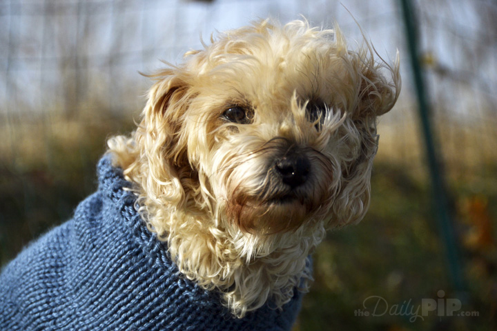 Ruby is the adorable rescued Yorkie-Poo of The Daily PIp