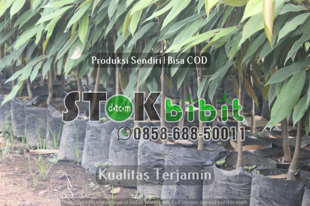 Pisang ambon dan jenis jenis pisang komersil lain      Unggul       Lengkap
