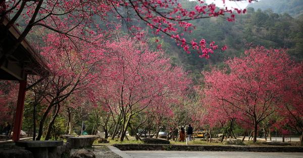 南投埔里|箱根溫泉生活館-櫻花開好開滿了