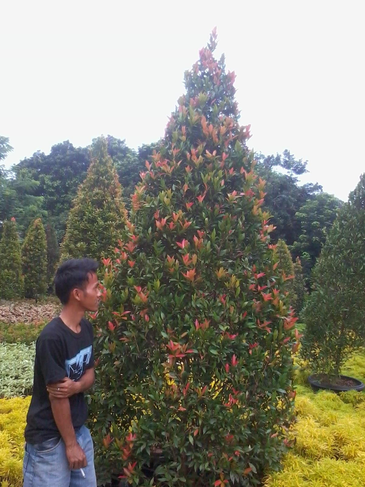 Pohon Ketapang Kencana | Pohon Pucuk Merah