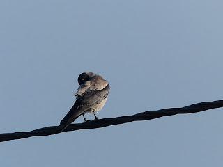 Corneille mantelée - Corvus cornix