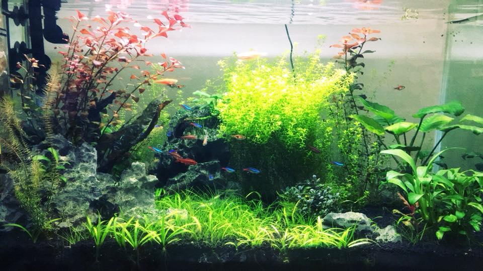 cây cỏ thìa trồng tiền cảnh trong một hồ thủy sinh