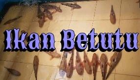 Umpan Ikan Betutu dan Cara Memancingnya
