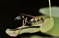 http://www.top10-facts.com/2018/03/black-and-yellow-mud-dauber.html