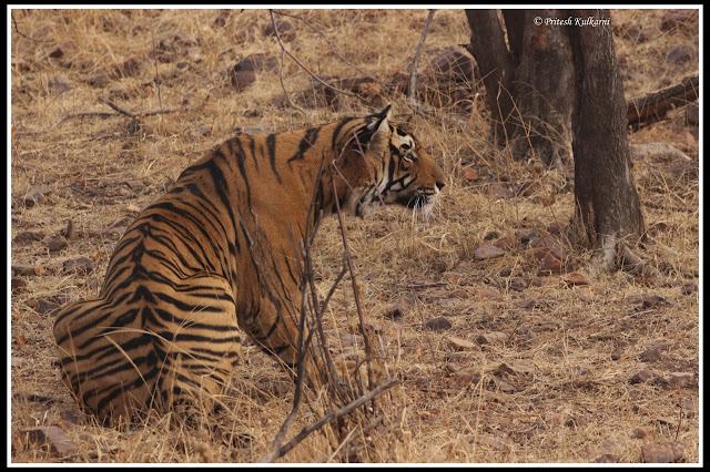 Tiger from Ranthambore