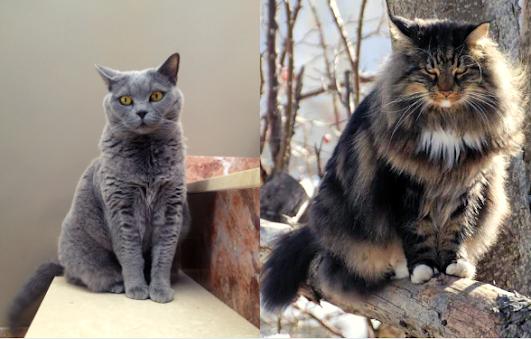 Le chat norvegien vs British Shorthair