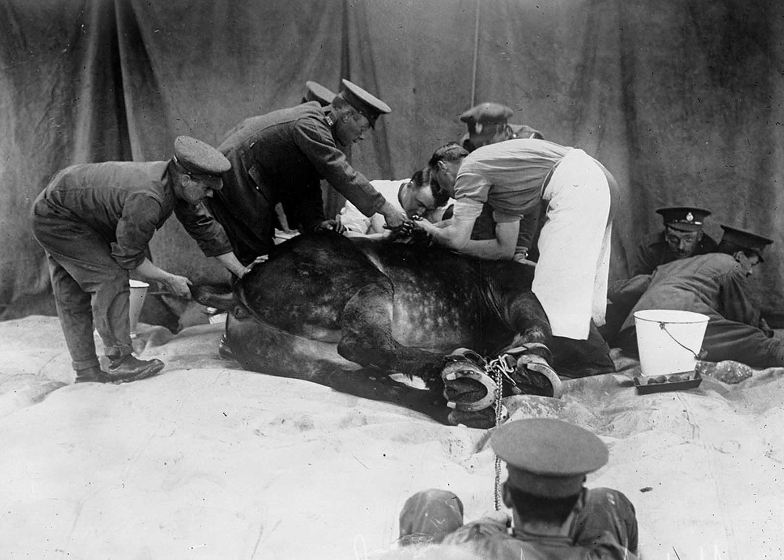 A horse is restrained while it is attended to at a veterinary hospital in 1916.