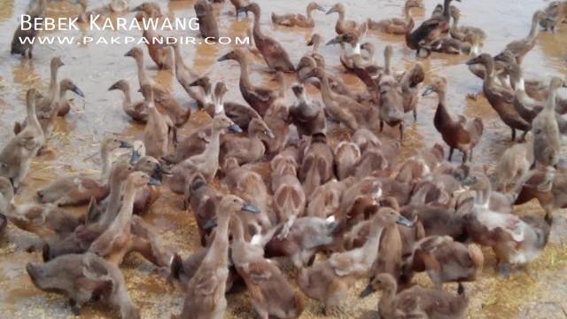 Bebek Petelur Magelang Jenis Itik Bebek Petelur Ungul Bebek Pedaging Cara Ternak Bebek Bebek Entok Itik