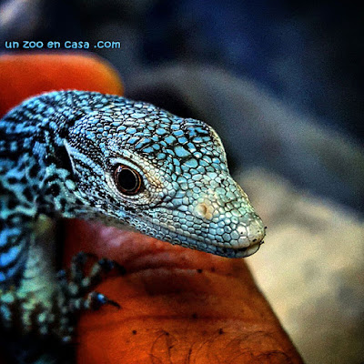 Varanus macraei, the blue tree monitor