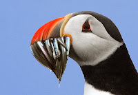Atlantic puffin 'back from a fishing trip' sand eels – by Steve Garvie, Scotland