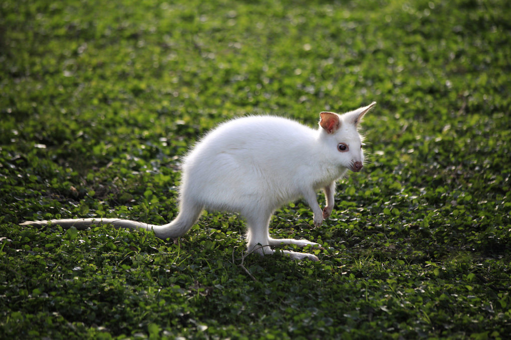 Quokka | A-Z List of 125 Rare Albino Animals [Pics]