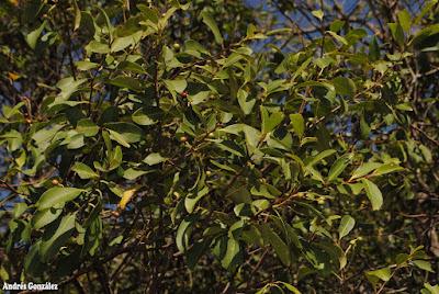 Duraznero bravo (Prunus subcoriacea)