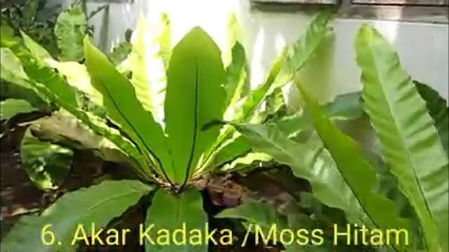 Akar Kadaka atau Moss Hitam