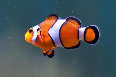 Ciri-Ciri Fisik Ikan Clownfish