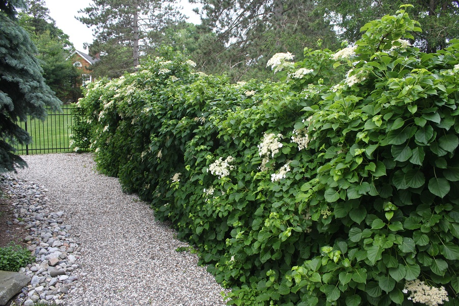 Hydrangea Petiolaris Care And Culture Travaldo S Blog