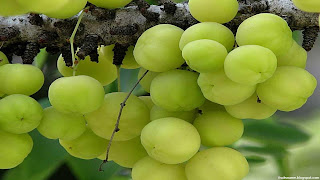 Indian gooseberry fruit images wallpaper