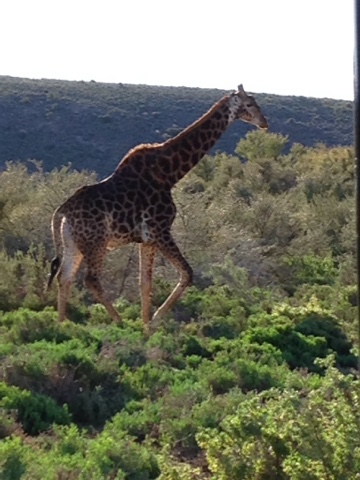 Giraffe South Africa