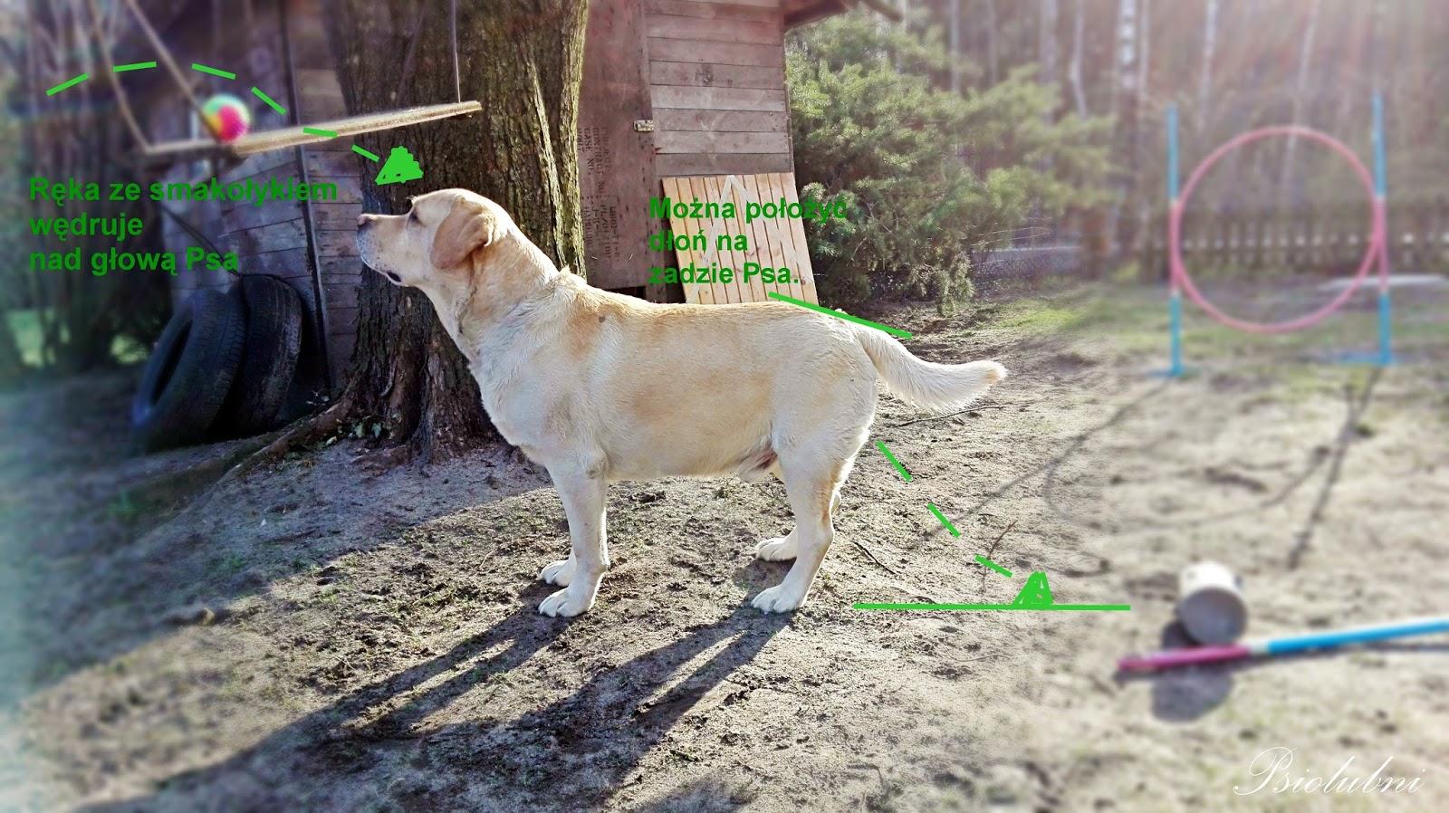 jak nauczyć psa siadać na komendę, siad nauka, wychowanie psa, psiolubni.com.pl
