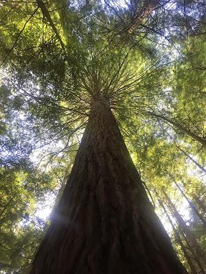 Red Wood Forrest, Rotorua