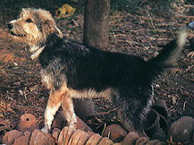 Armant dog-pets-dog-dog breeds