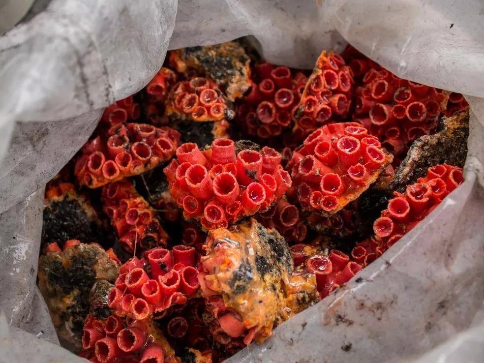 Coral-sol ameaça à biodiversidade no litoral pernambucano