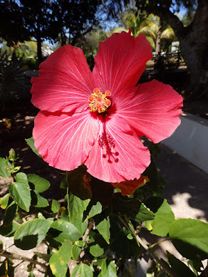 Hibiscus in the Shadow