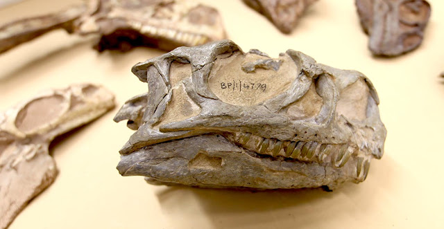 New species of early dinosaur described from South Africa