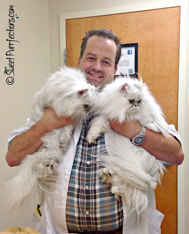 vet holding two silver shaded persian cats