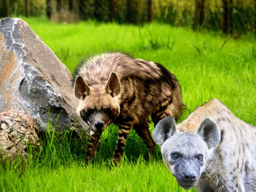 the Hyena,are hyenas top predators