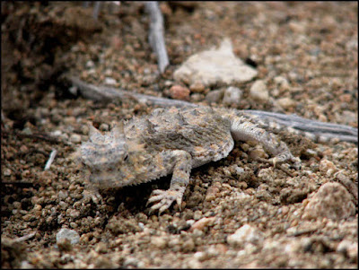 Joshua Tree National Park,horned lizard,horny toad,Mojave,desert