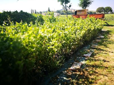 selezione massale vivaio viti