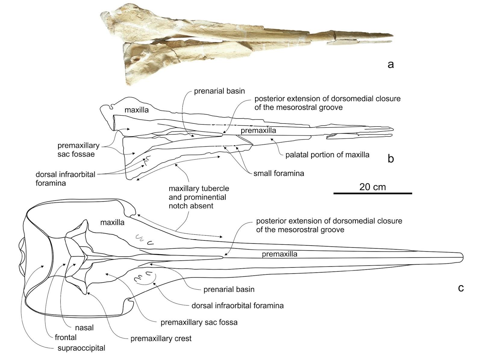 The Coastal Paleontologist, atlantic edition: January 2017