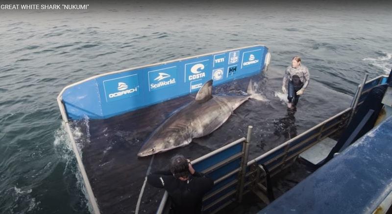 Gigantic white shark.
