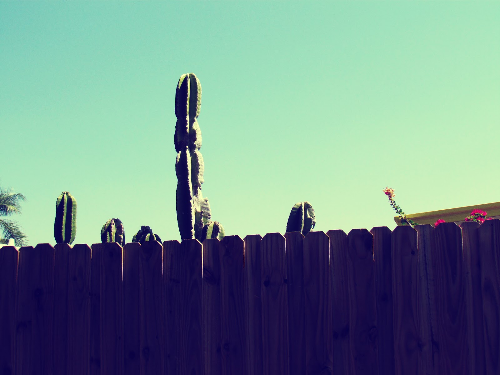 A giant green saguaro cactus with hot house flowers on a wooden fence in the backyard overlooking a nature perserve in Florida